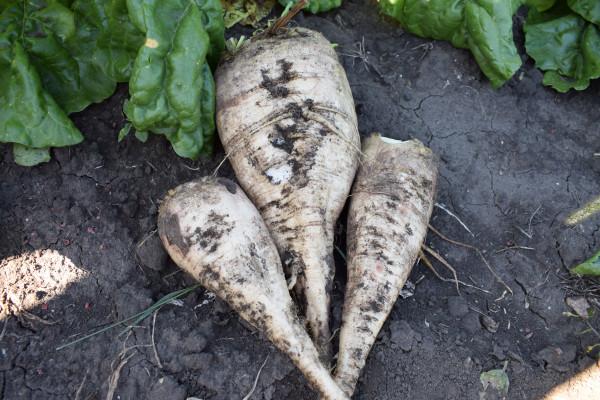 Удосконалений спосіб вирощування насіння цукрових буряків Ч. 1