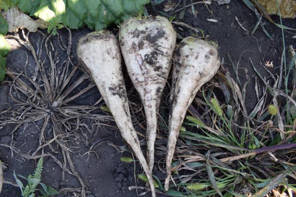 Технології вирощування насіння цукрових і кормових буряків у Східному Лісостепу України Ч1